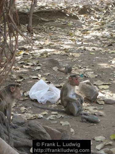 Monkeys, Death, Wake, Grief, Bereavement, Elephanta Island, Maharashtra, Bombay, Mumbai, India