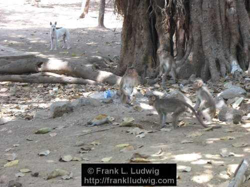 Monkeys, Death, Wake, Grief, Elephanta Island, Maharashtra, Bombay, Mumbai, India