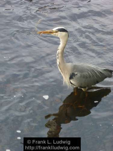 Grey Heron Sticking Its Tongue Out